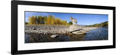 Wolf Standing on a Rock at the Riverbank, US Glacier National Park, Montana, USA--Framed Photographic Print
