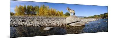 Wolf Standing on a Rock at the Riverbank, US Glacier National Park, Montana, USA--Mounted Photographic Print