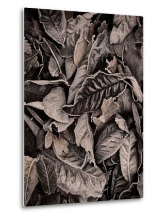 Sepia Leaves-Tim Kahane-Metal Print
