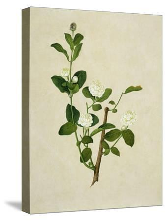 Chinese Botanical Illustration of an Arabian Jasmine--Stretched Canvas Print