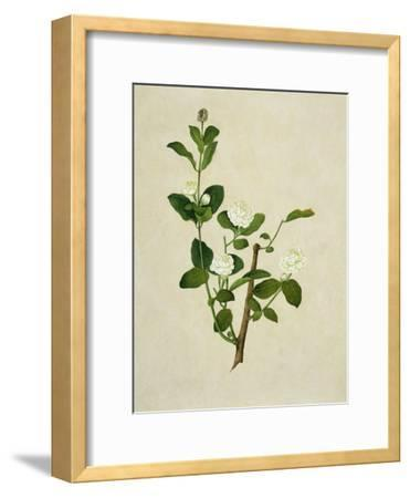 Chinese Botanical Illustration of an Arabian Jasmine--Framed Giclee Print