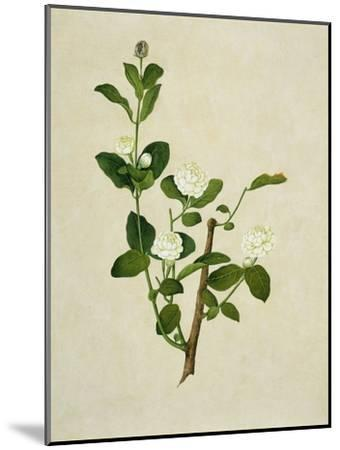 Chinese Botanical Illustration of an Arabian Jasmine--Mounted Giclee Print