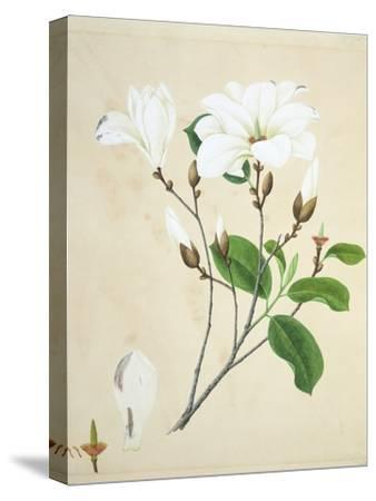 Magnolia, c.1800-40--Stretched Canvas Print