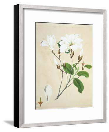 Magnolia, c.1800-40--Framed Giclee Print