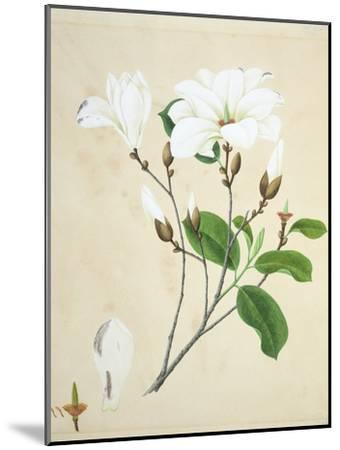 Magnolia, c.1800-40--Mounted Giclee Print