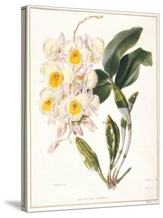 Botanical Watercolour: Orchid, Dendrobium Farmerii-Samuel Holden-Stretched Canvas Print