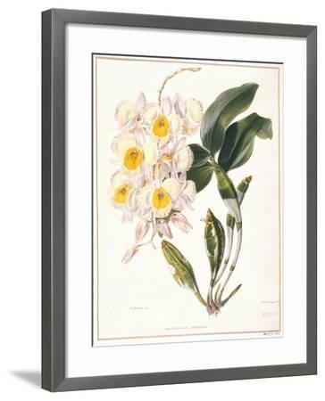 Botanical Watercolour: Orchid, Dendrobium Farmerii-Samuel Holden-Framed Giclee Print