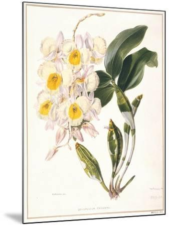 Botanical Watercolour: Orchid, Dendrobium Farmerii-Samuel Holden-Mounted Giclee Print