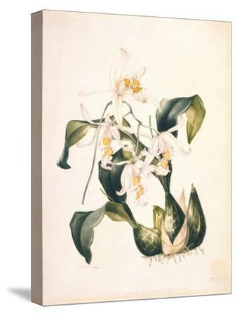 Botanical Watercolour: Orchid, Coelogyne Interrupta-Samuel Holden-Stretched Canvas Print