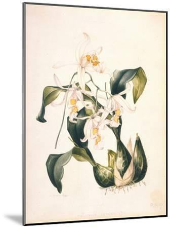 Botanical Watercolour: Orchid, Coelogyne Interrupta-Samuel Holden-Mounted Giclee Print