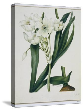 White Flowers with Long Dark Green Leaves-Samuel Holden-Stretched Canvas Print