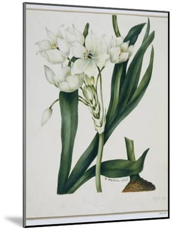 White Flowers with Long Dark Green Leaves-Samuel Holden-Mounted Giclee Print