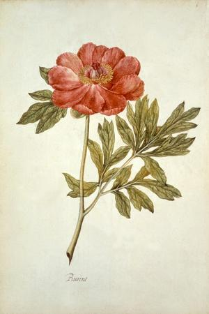 Botanical Study of a Peony-Jacques Le Moyne De Morgues-Stretched Canvas Print
