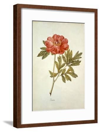 Botanical Study of a Peony-Jacques Le Moyne De Morgues-Framed Giclee Print