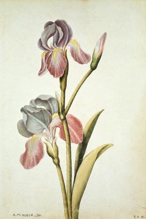Botanical Study of an Iris-Jacques Le Moyne De Morgues-Stretched Canvas Print