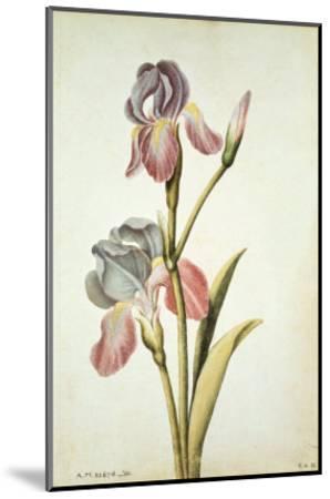 Botanical Study of an Iris-Jacques Le Moyne De Morgues-Mounted Giclee Print