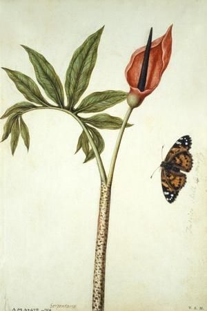 Botanical Study of a Dragon Lily and Butterfly-Jacques Le Moyne De Morgues-Stretched Canvas Print
