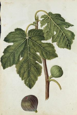 Botanical Study of a Fig-Jacques Le Moyne De Morgues-Stretched Canvas Print