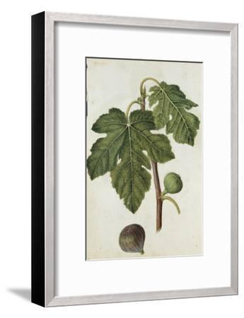 Botanical Study of a Fig-Jacques Le Moyne De Morgues-Framed Giclee Print