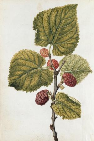 Botanical Study of Mulberry-Jacques Le Moyne De Morgues-Stretched Canvas Print