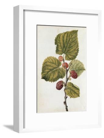 Botanical Study of Mulberry-Jacques Le Moyne De Morgues-Framed Giclee Print