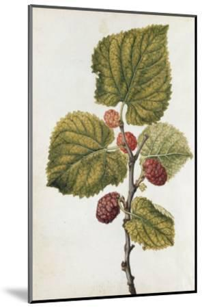 Botanical Study of Mulberry-Jacques Le Moyne De Morgues-Mounted Giclee Print