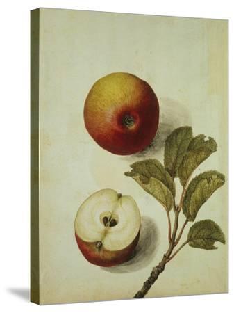 Botanical Study of an Apple-Jacques Le Moyne De Morgues-Stretched Canvas Print