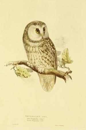 Illustration of Tengmalm's Owl-Edward Lear-Stretched Canvas Print