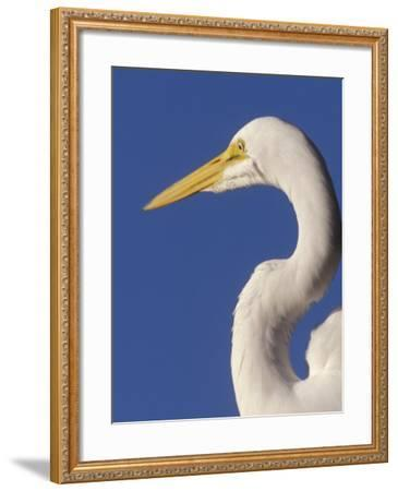 Great Egret, Ft. Myers Beach, Florida-Peter Hawkins-Framed Photographic Print