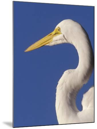 Great Egret, Ft. Myers Beach, Florida-Peter Hawkins-Mounted Photographic Print