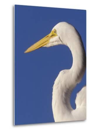 Great Egret, Ft. Myers Beach, Florida-Peter Hawkins-Metal Print