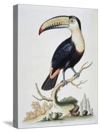 Le Toucan, c.1751-George Edwards-Stretched Canvas Print