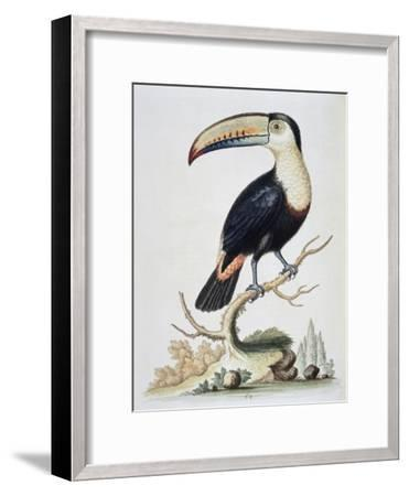 Le Toucan, c.1751-George Edwards-Framed Giclee Print