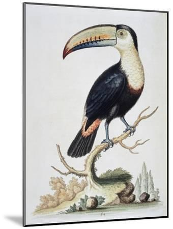 Le Toucan, c.1751-George Edwards-Mounted Giclee Print