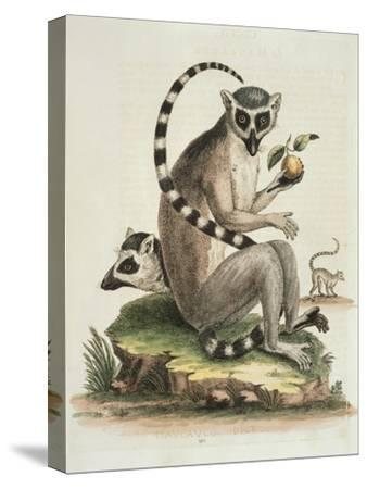 Le Maucuaco, c.1751-George Edwards-Stretched Canvas Print