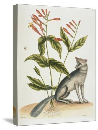 Grey Fox Natural History of Carolina, Florida and Bahamas-Mark Catesby-Stretched Canvas Print