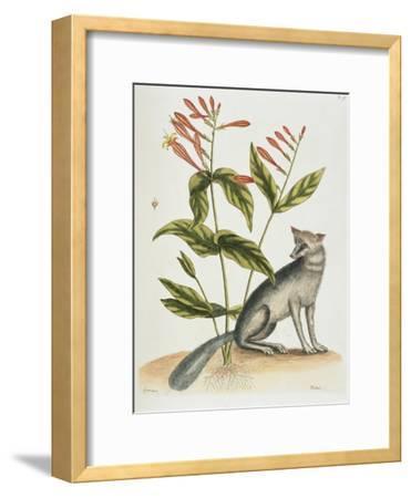 Grey Fox Natural History of Carolina, Florida and Bahamas-Mark Catesby-Framed Giclee Print