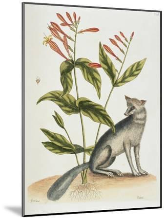 Grey Fox Natural History of Carolina, Florida and Bahamas-Mark Catesby-Mounted Giclee Print