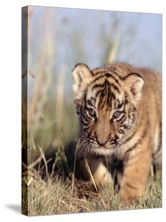 Bengal Tiger Cub, Panthera Tigris-D^ Robert Franz-Stretched Canvas Print