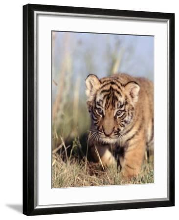 Bengal Tiger Cub, Panthera Tigris-D^ Robert Franz-Framed Photographic Print