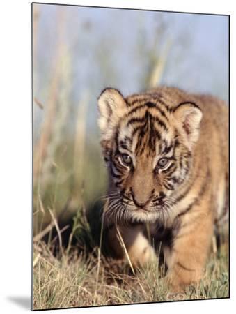 Bengal Tiger Cub, Panthera Tigris-D^ Robert Franz-Mounted Photographic Print