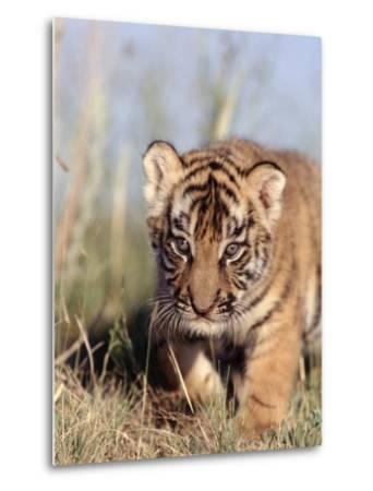 Bengal Tiger Cub, Panthera Tigris-D^ Robert Franz-Metal Print