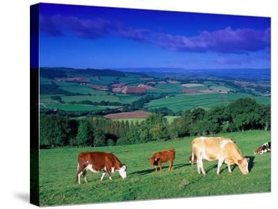 Cows in the Valley, South Wales-Peter Adams-Stretched Canvas Print
