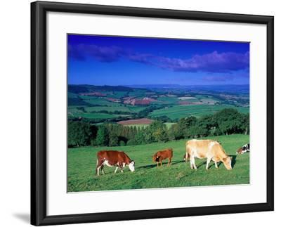 Cows in the Valley, South Wales-Peter Adams-Framed Photographic Print