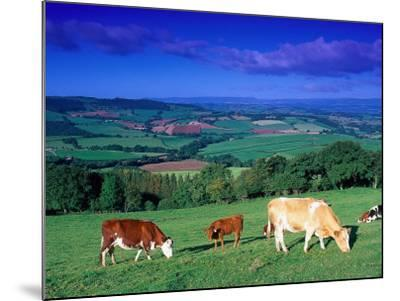 Cows in the Valley, South Wales-Peter Adams-Mounted Photographic Print