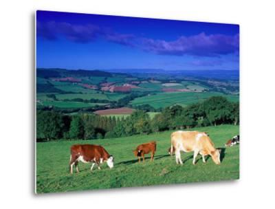 Cows in the Valley, South Wales-Peter Adams-Metal Print