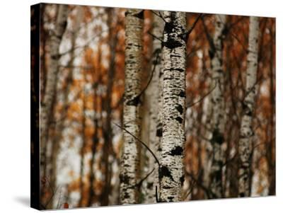 Autumn Colors at Lake of the Woods, Ontario, Canad-Keith Levit-Stretched Canvas Print
