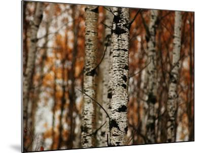 Autumn Colors at Lake of the Woods, Ontario, Canad-Keith Levit-Mounted Photographic Print