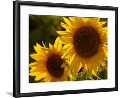Sunflowers in Prairie Fields-Keith Levit-Framed Photographic Print