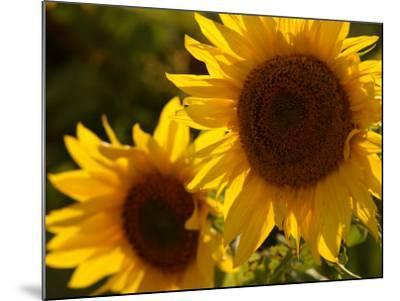 Sunflowers in Prairie Fields-Keith Levit-Mounted Photographic Print